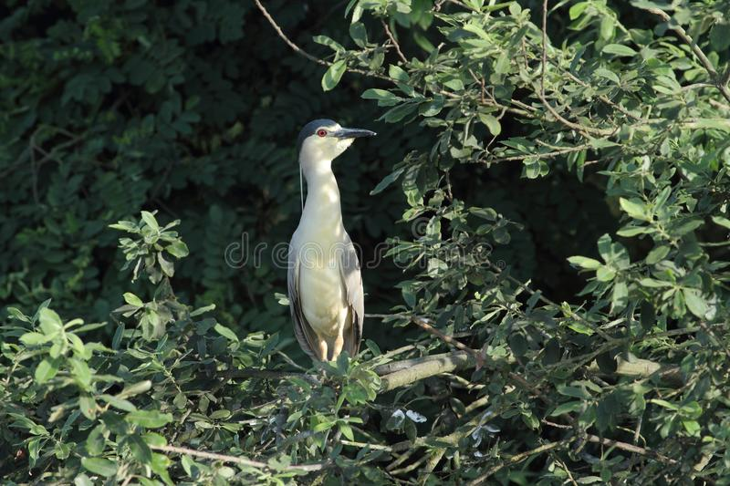 Black-crowned Night Heron, Nycticorax nycticorax hunting. Black-crowned Night Heron, Nycticorax nycticorax, hunting the fish, carp, catch, haul royalty free stock images