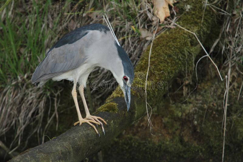 Black-crowned Night Heron, Nycticorax nycticorax hunting. Black-crowned Night Heron, Nycticorax nycticorax, hunting the fish, carp, catch, haul stock image