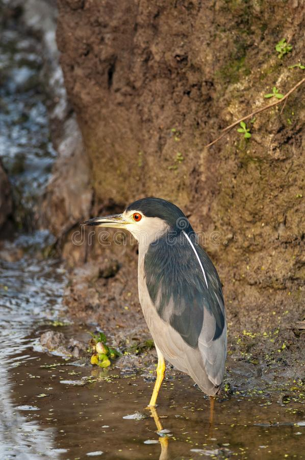 Black crowned night heron, Nycticorax nycticorax, Navi Mumbai, Maharashtra, India. Black crowned night heron, Nycticorax nycticorax at Navi Mumbai, Maharashtra stock photography