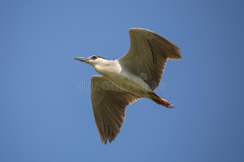 Black-crowned night heron Nycticorax nycticorax in sky. Black-crowned night heron Nycticorax nycticorax in sky of Thailand stock photos
