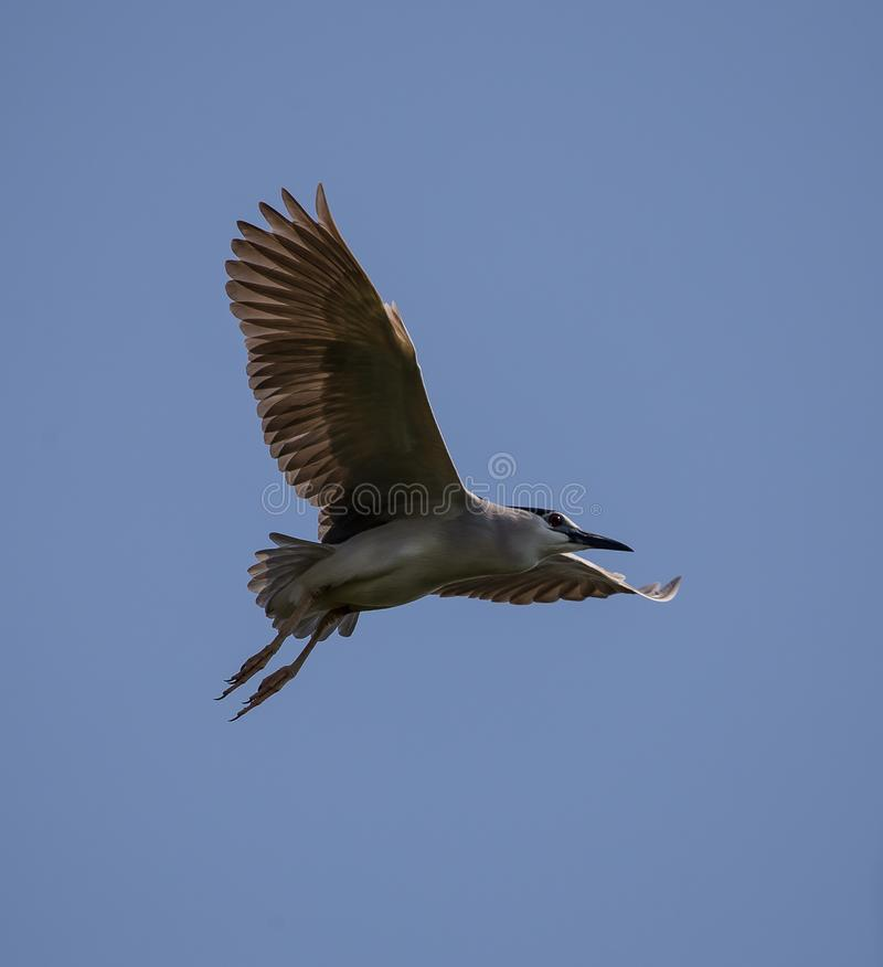 Black-crowned night heron Nycticorax nycticorax in sky. Black-crowned night heron Nycticorax nycticorax in sky of Thailand stock image