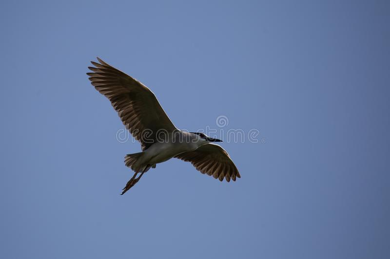 Black-crowned night heron Nycticorax nycticorax in sky. Black-crowned night heron Nycticorax nycticorax in sky of Thailand stock photo