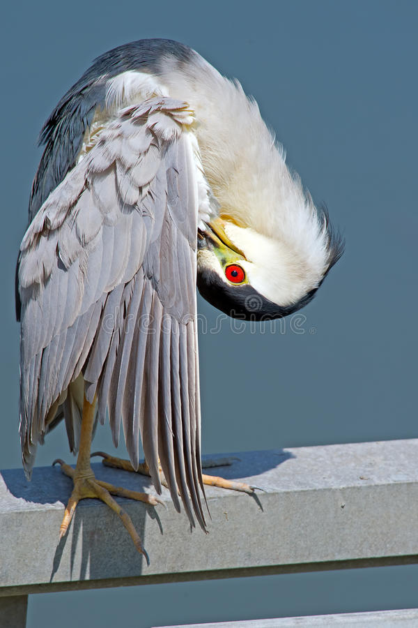 Black-crowned Night Heron. Preening stock image