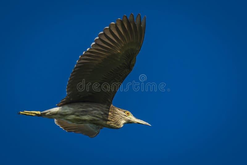 Black - crowned Night Heron. @ Seik Kyii / Kha Naung Toe City - Yangon Division - Myanmar (Burma stock images