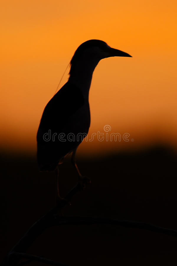 Black-crowned Night Heron silhouette (Nycticorax nycticorax). Patagonia, Argentina, South America. stock image