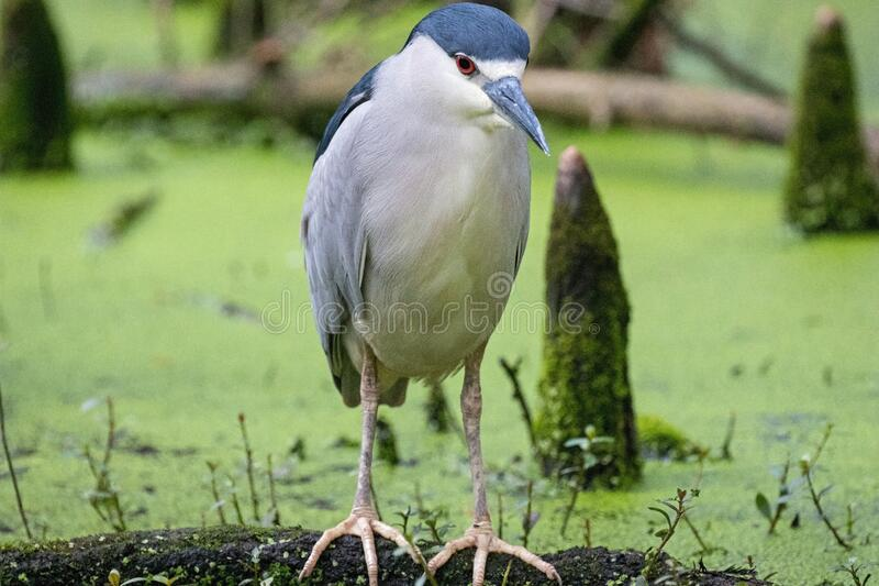 Black Crowned Night Heron sitting on the ground stock images