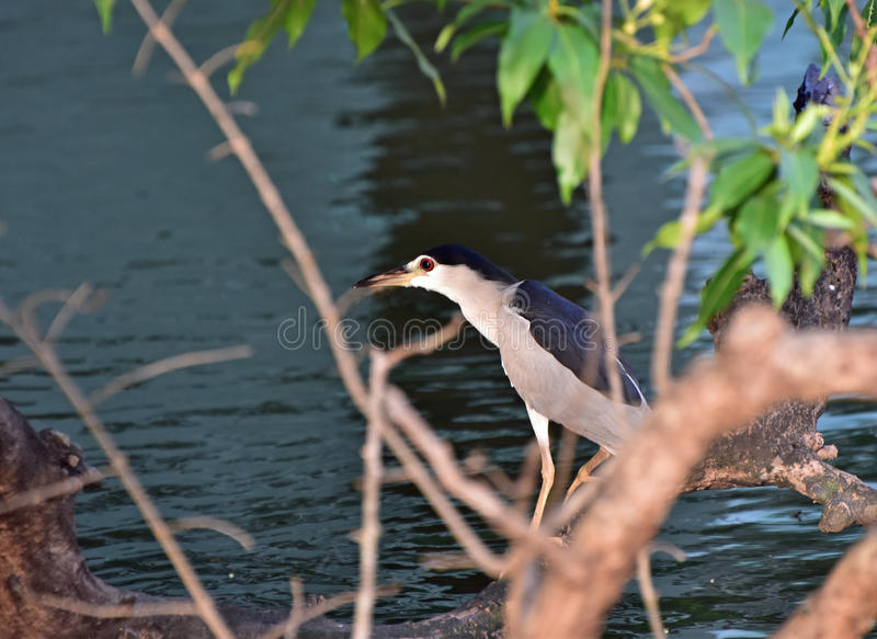 Black crowned night heron. A black crowned night heron stand still at the water`s edge and wait to ambush prey at early morning stock photography