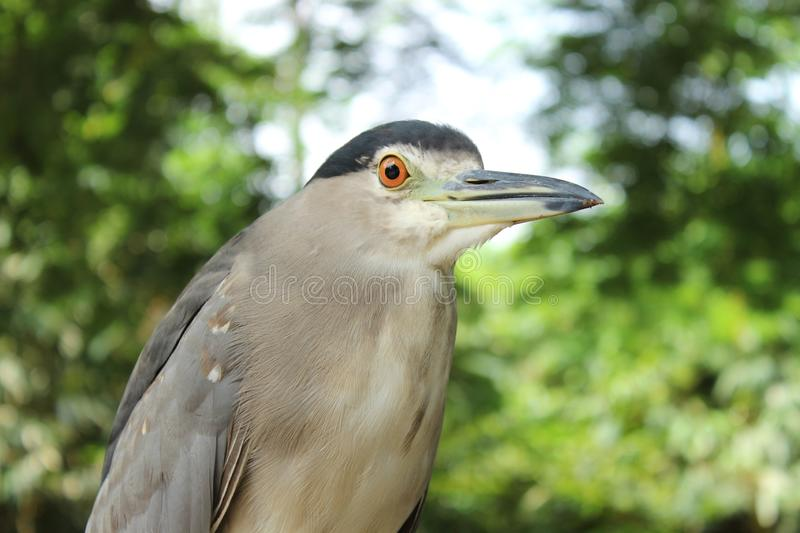 Black crowned Night Heron. Standing pose. looking for food. sharp orange eyes and sharp nose stock images