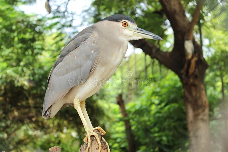 Black crowned Night Heron standing on small wood. Black crowned Night Heron standing pose. looking for food. sharp orange eyes and sharp nose royalty free stock image