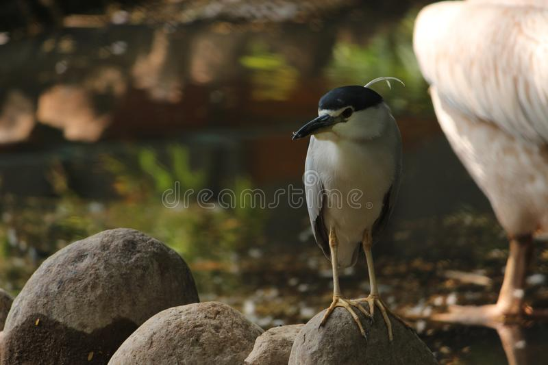 Black crowned Night Heron standing on small rock stock images