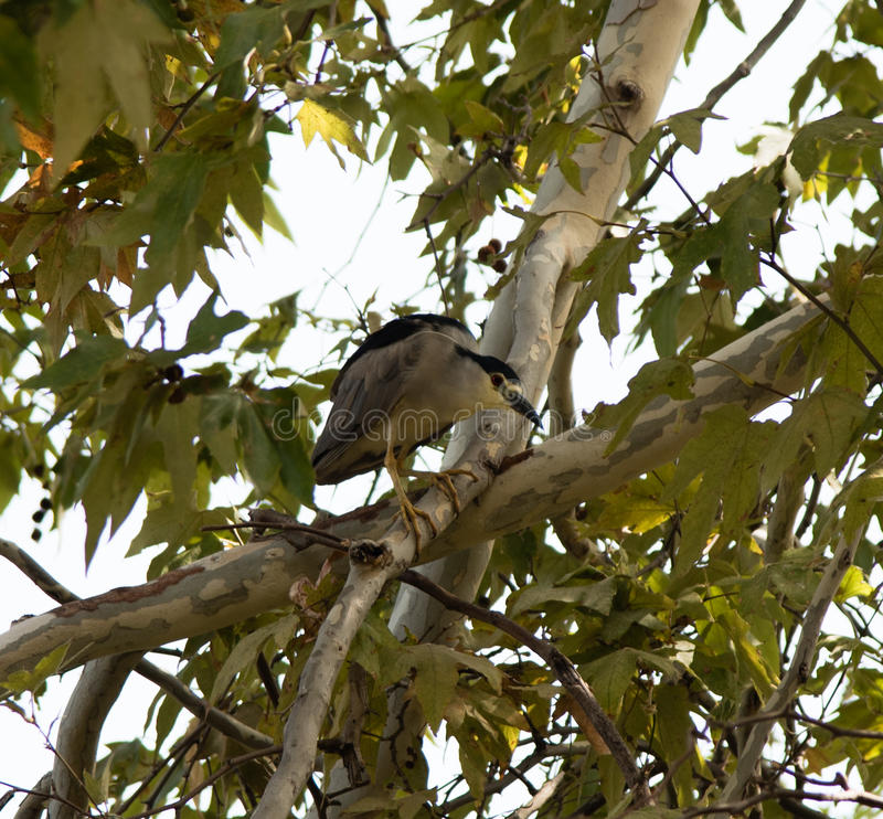 Black-crowned Night Heron in a sycamore tree. Balboa Park, Los Angeles stock images