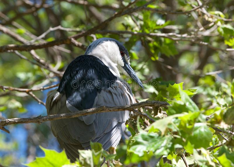 Black crowned night heron preening in a tree royalty free stock photography