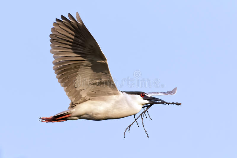 Black-crowned Night Heron with Twig. A Black-crowned Night Heron Nycticorax nycticrax flying with a twig in its beak for nest building. Lancaster County stock image