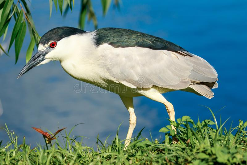 Black Crowned Night Heron Venice Rookery. This photograph is of a Black Crowned Night Heron who is hunting along the bank for edibles in the lake water.  This royalty free stock image