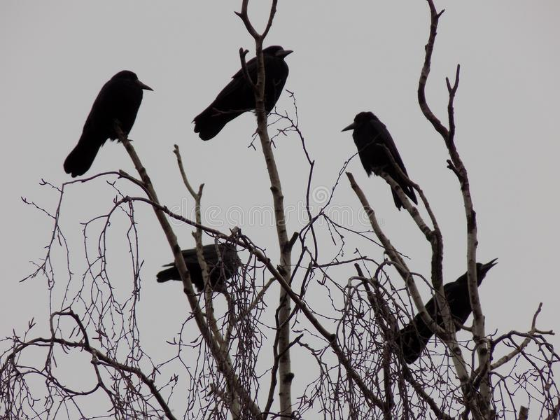Black crows on branches stock photos