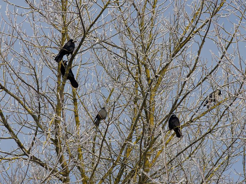 Black crows in the tree in winter time royalty free stock images