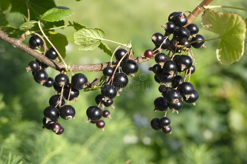 Download Black Currant Stock Photography - Image: 10396022