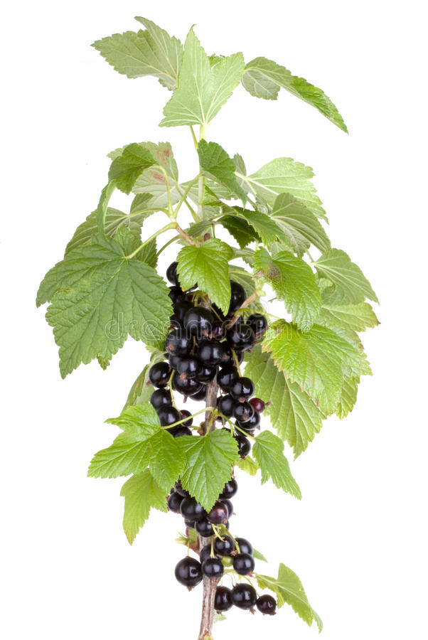 Black currant. Isolated on white background royalty free stock images