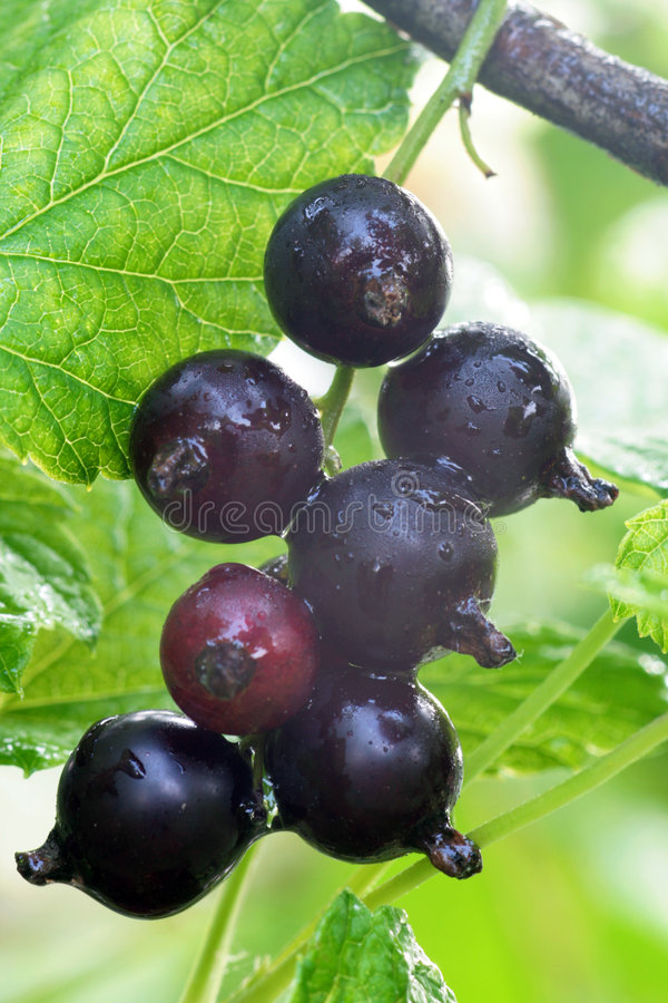 Black currant. stock images