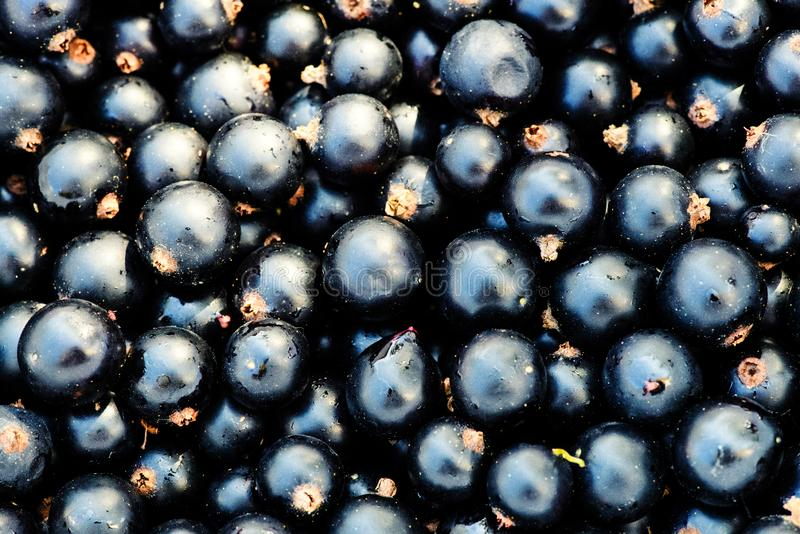Black currant background. Berries, berry, blackberry, blackcurrant, blackcurrants, bowl, branch, closeup, dessert, diet, drop, food, fresh, freshness, fruit royalty free stock photo
