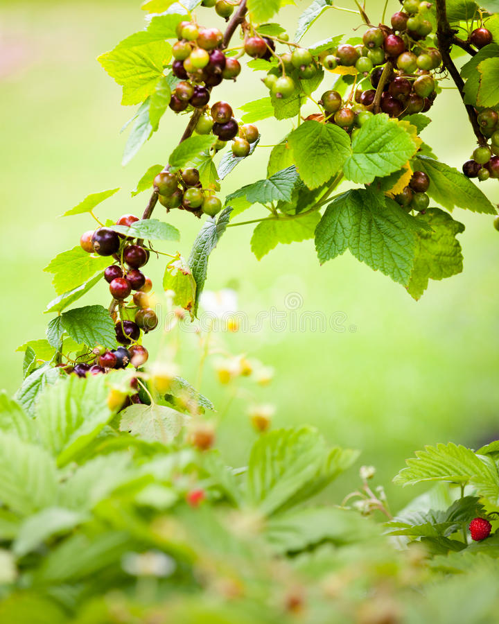 Black currant background. Soft background with black currant and wild strawberries royalty free stock image