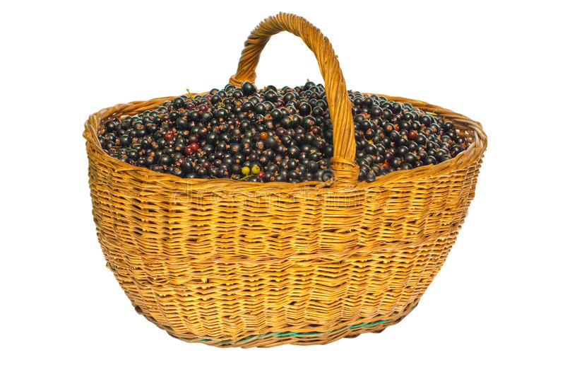 Download Black Currant In A Basket Stock Photography - Image: 10262002