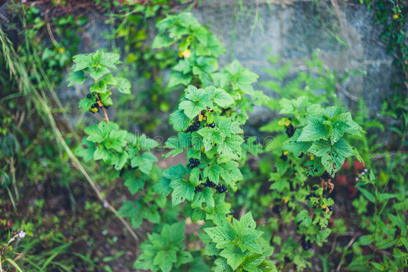Download Black Currant Bush In Garden Stock Photo - Image: 83712122