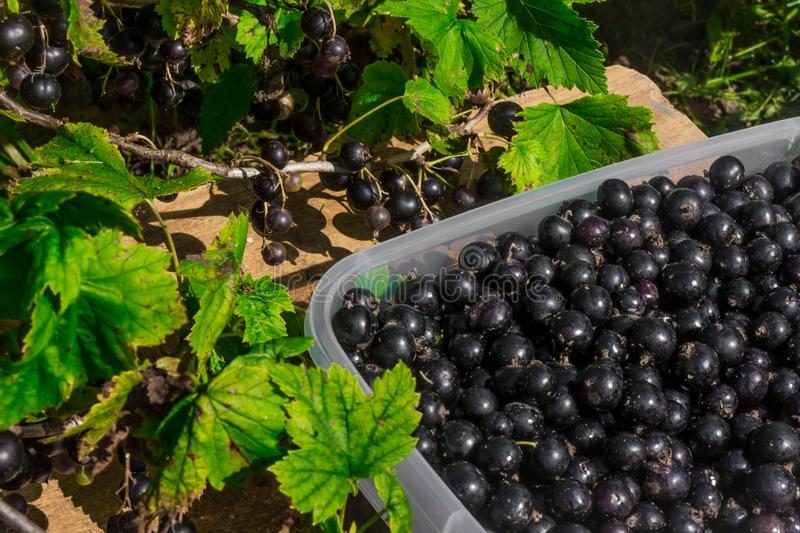 Black currant. Collect berries. Black currant in a container. royalty free stock photography