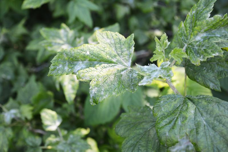 Black currant diseases. Downy Mildew. American gooseberry mildew and powdery mildew can infect the leaves and shoot tips, and. Botrytis may cause the fruit to royalty free stock photography