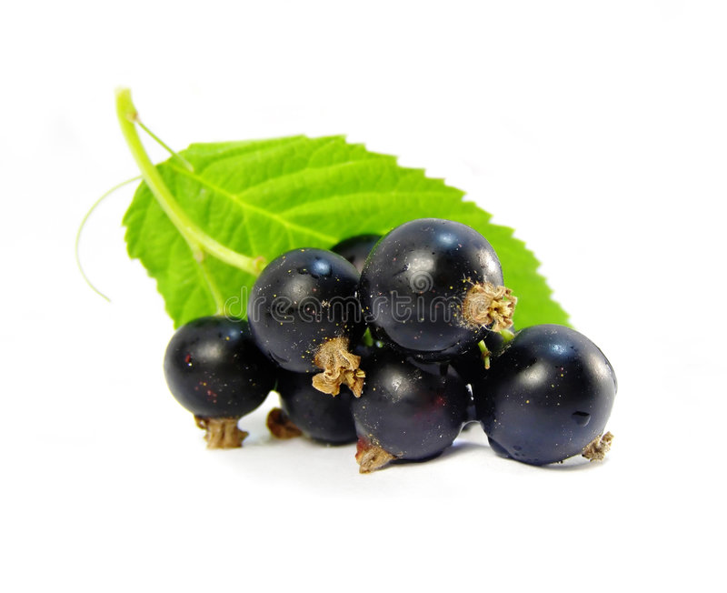 Download Black currant isolated stock photo. Image of branch, fruit - 2643998