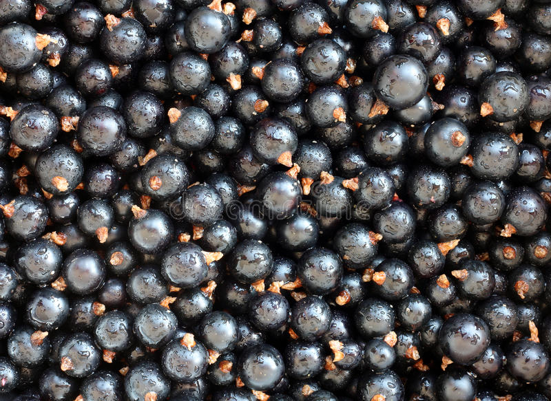Black currants. stock image