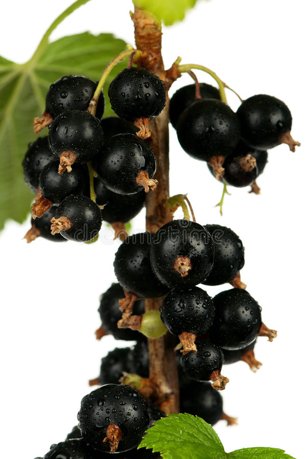 Download Black currants stock photo. Image of bacca, fresh, closeup - 26821286