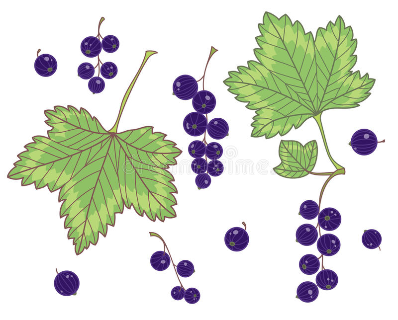 Download Black currants isolated stock vector. Image of berry - 27528140