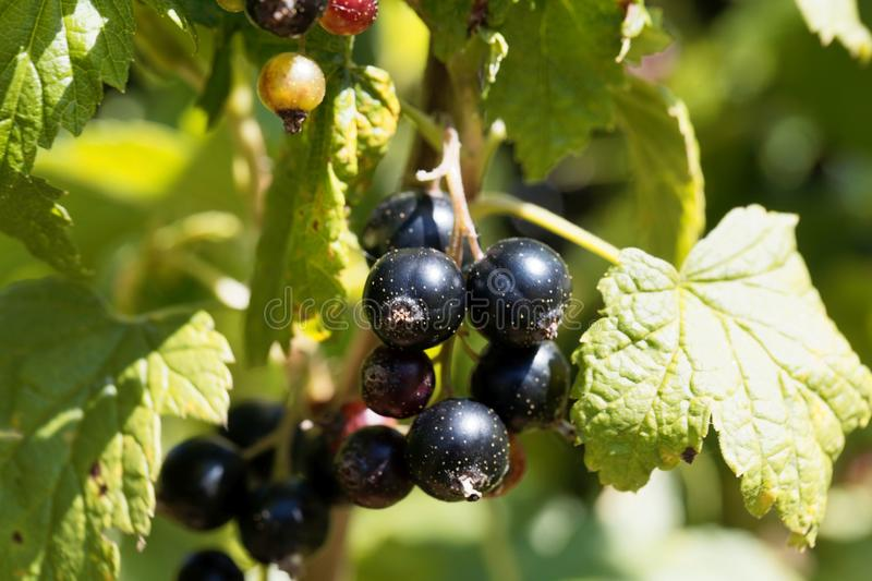 Black currants Ribes nigrum on a bush royalty free stock image