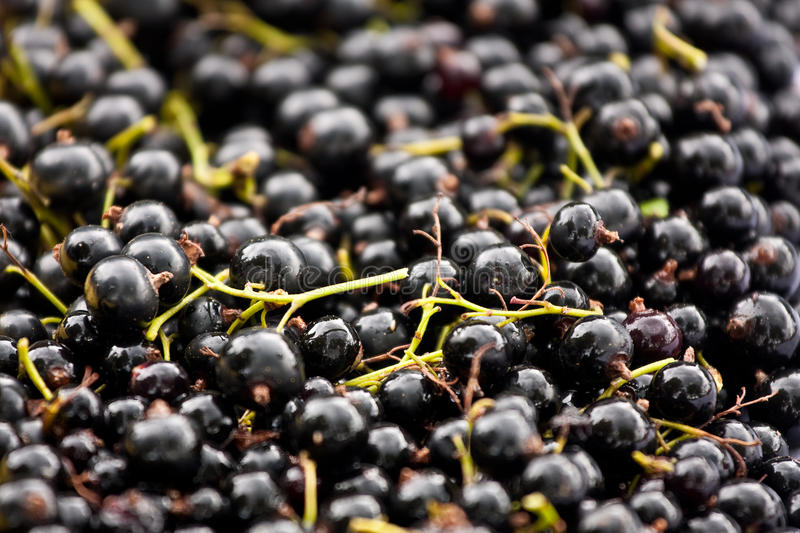 Download Black Currents. Selective Focus. Royalty Free Stock Images - Image: 10744259