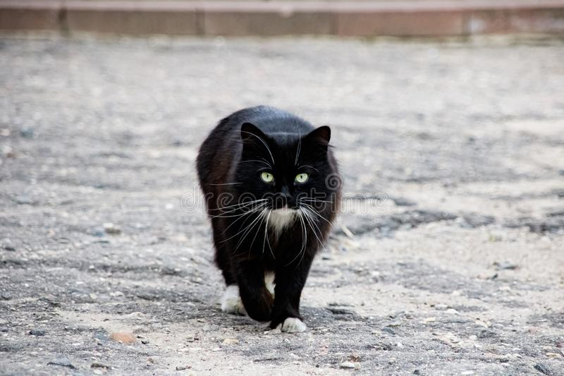 Black cat walking on asphalt close up stock photography