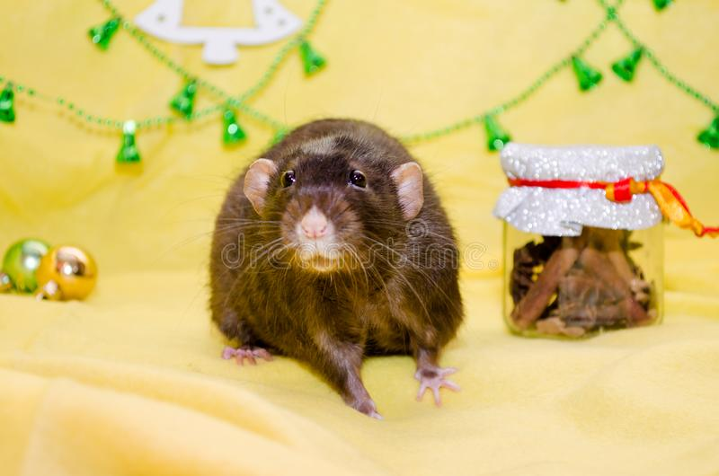 Black cute fluffy rat sits on yellow background near Christmas decorations, background for postcards, symbol of 2020. Black cute fluffy rat sits on a yellow royalty free stock images