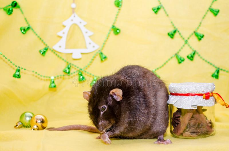 Black cute fluffy rat sits on a yellow background, background for postcards, a symbol of the new year 2020. Black cute fluffy rat sits on a yellow background royalty free stock images