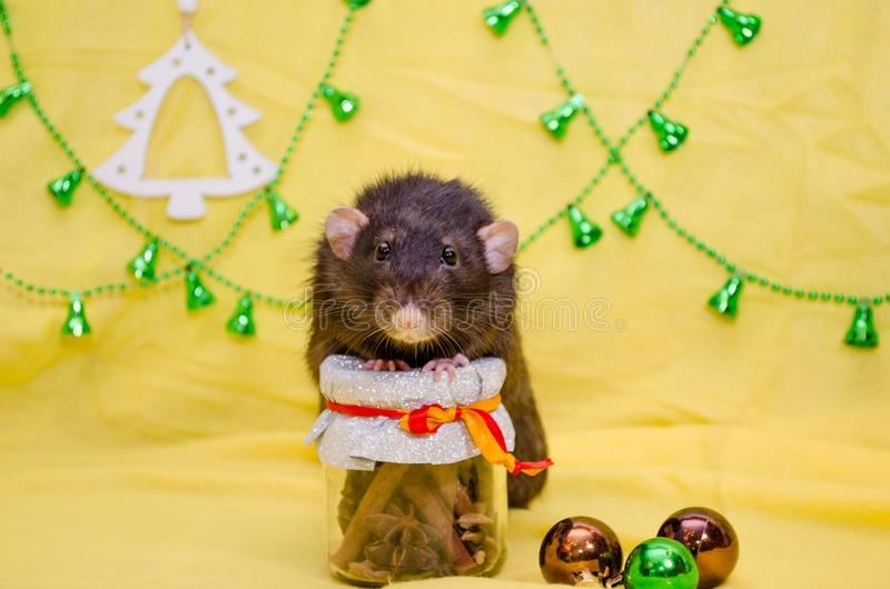 Black cute rat with funny ears sits on New Year gift jar on yellow background with Christmas tree, symbol of 2020. Black cute rat with funny ears sits on a New royalty free stock images