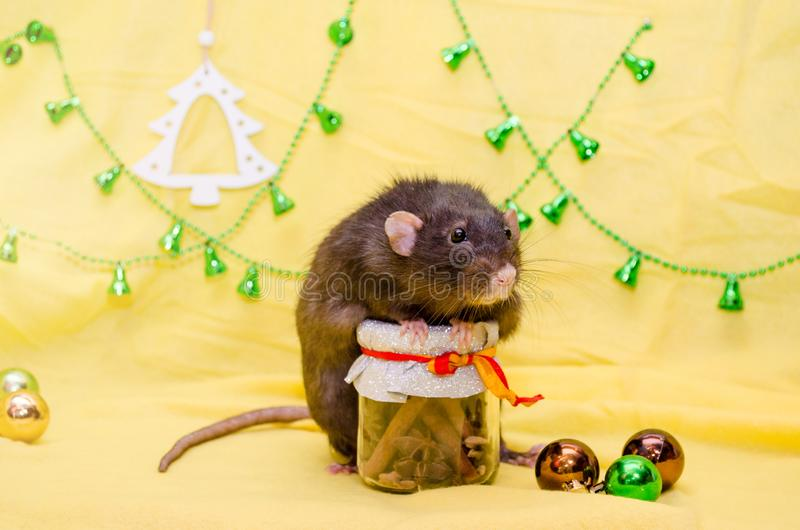 Black cute rat with funny ears sits on New Year jar on yellow background with Christmas tree and bells, symbol of 2020. Black cute rat with funny ears sits on a royalty free stock photography