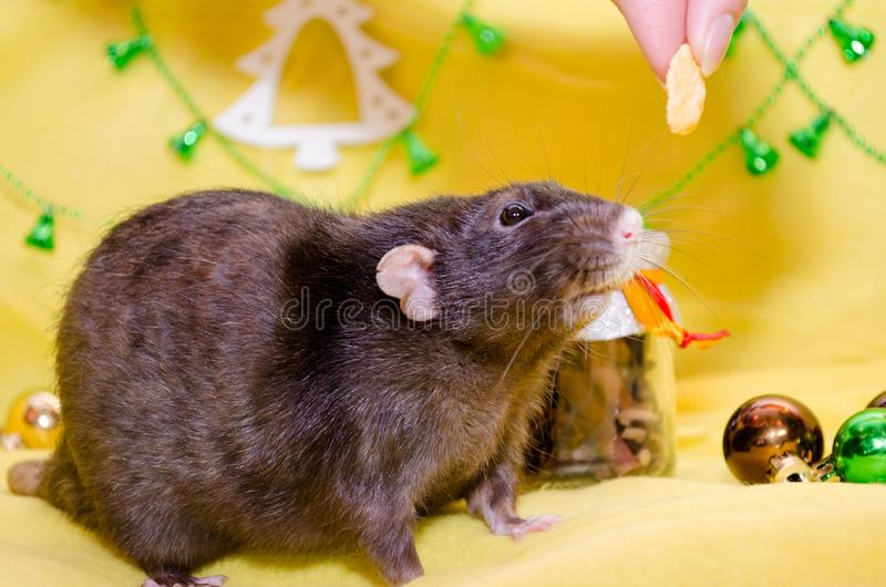 Black cute rat sits on a New Year yellow background with a Christmas bells, try to eat a food, symbol of 2020. Black cute rat with funny ears sits on a New Year royalty free stock images