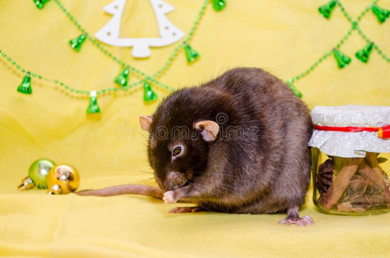 Black cute rat sits on a yellow background near the Christmas decorations, background for postcards, symbol of 2020. Black cute fluffy rat sits on a yellow stock photos