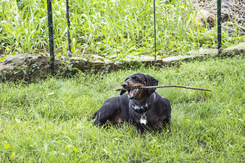 Black dachshound chewing on a stick in the grass. Black dachshound chwing on a stick while sitting in the yard stock photography