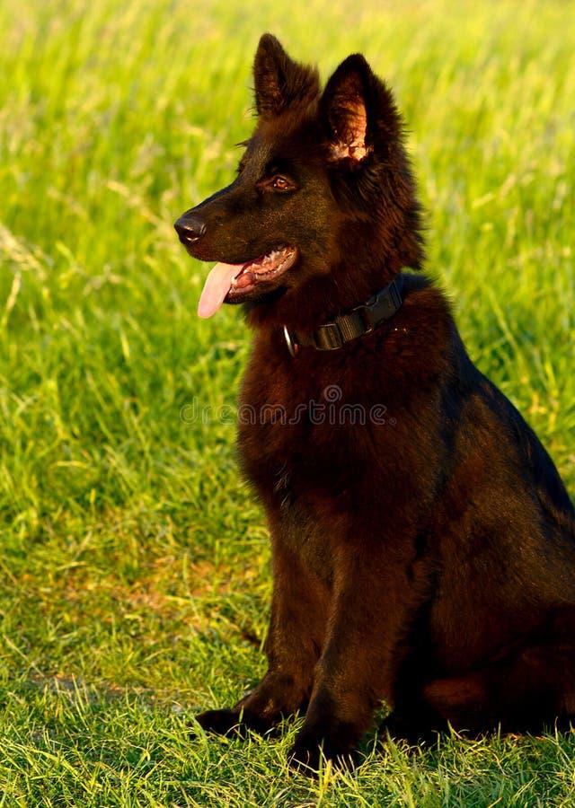 Download Black Dog stock image. Image of grass, mammal, looking - 12650915