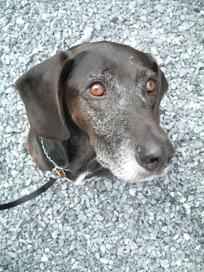 Download Black dog stock image. Image of companion, eyes, mutt, ears - 152313