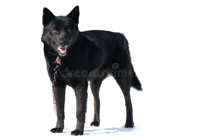 Black Dog Stock Photos