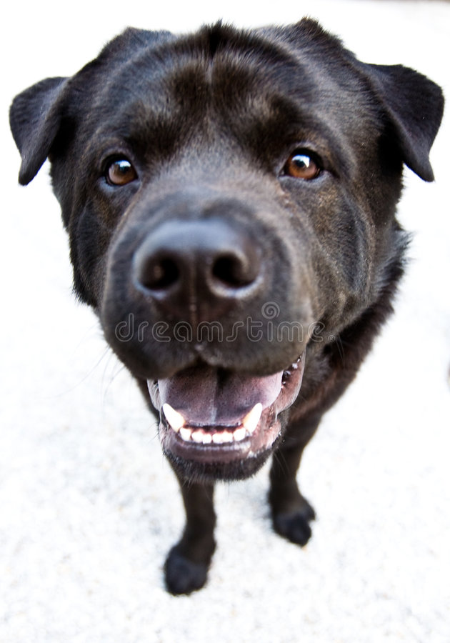 Black Dog. Very close view of a black dog with fangs stock image