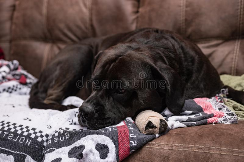 Black dog with bandaged foot lying down. Black Labrador crossbred dog with a bandaged foot lying on blankets on a leather couch resting royalty free stock photo