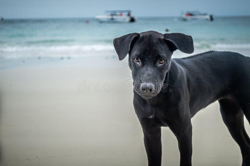 Black dog on the beach royalty free stock photo