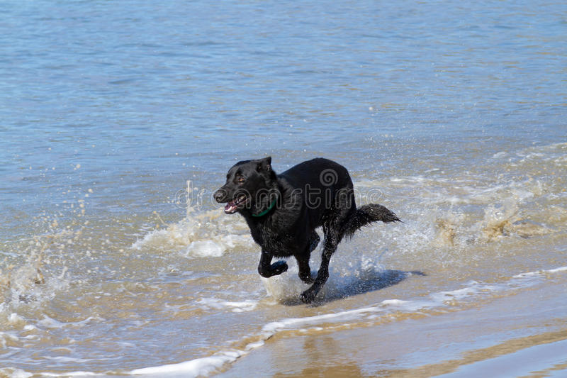 Black dog on beach stock photo
